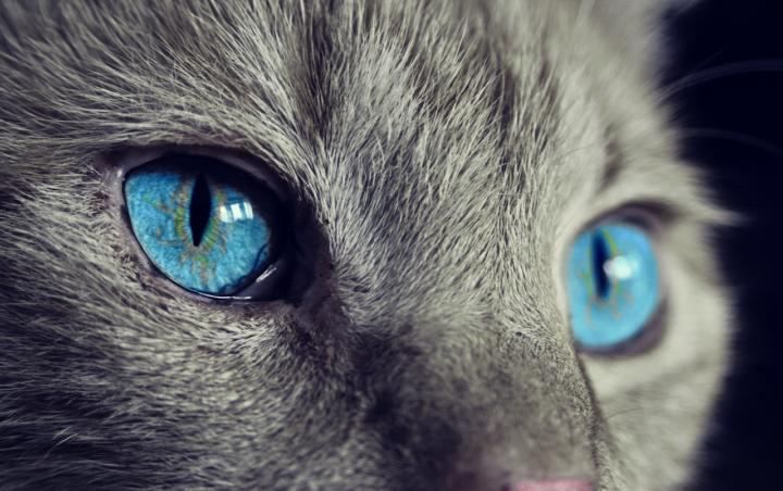 猫の青い目の画像
